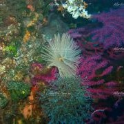 Gorgonian sea fan and spirograph